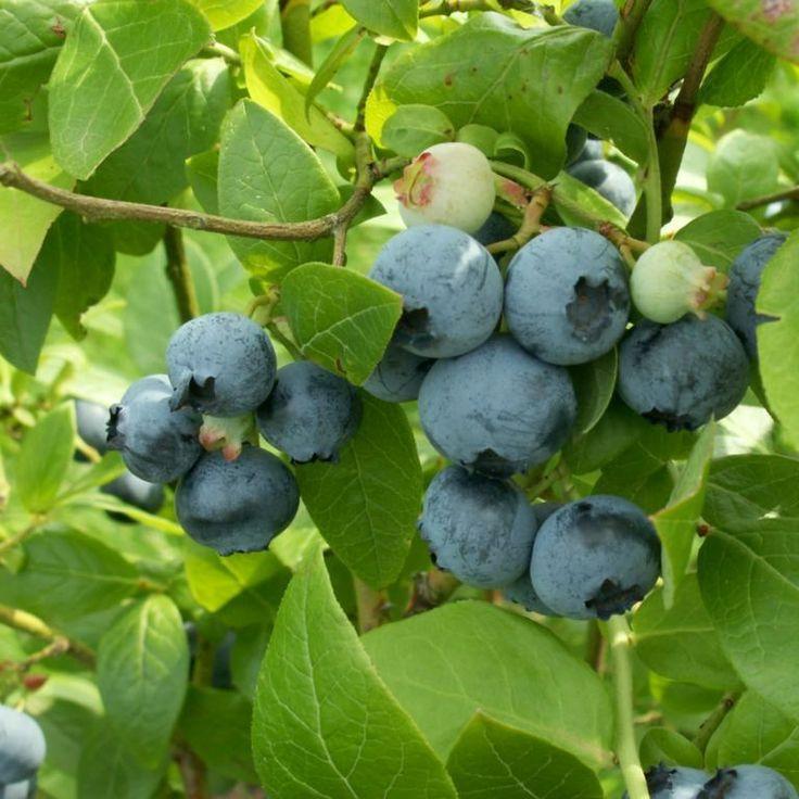 Northern Highbush Blueberry / Swamp Blueberry