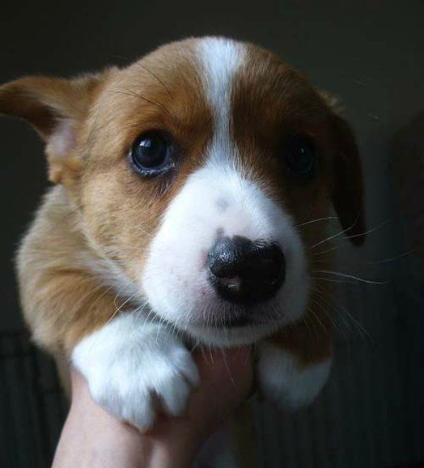 Aww! Is this not the cutest Corgi ever?
