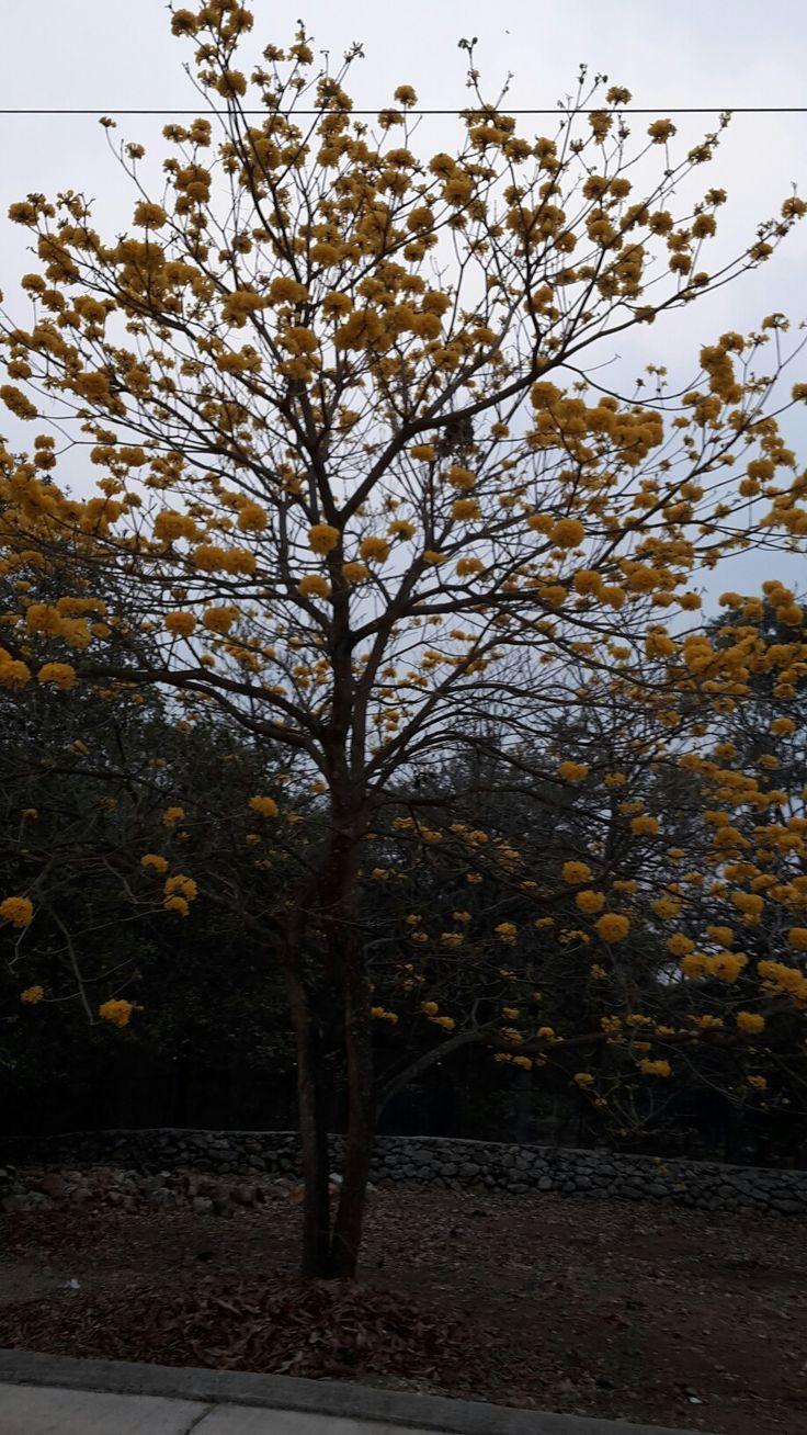 Floración de árbol de Manuelizo amarillo, Honduras