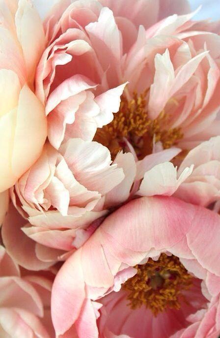 { Blush Pink peonies }
