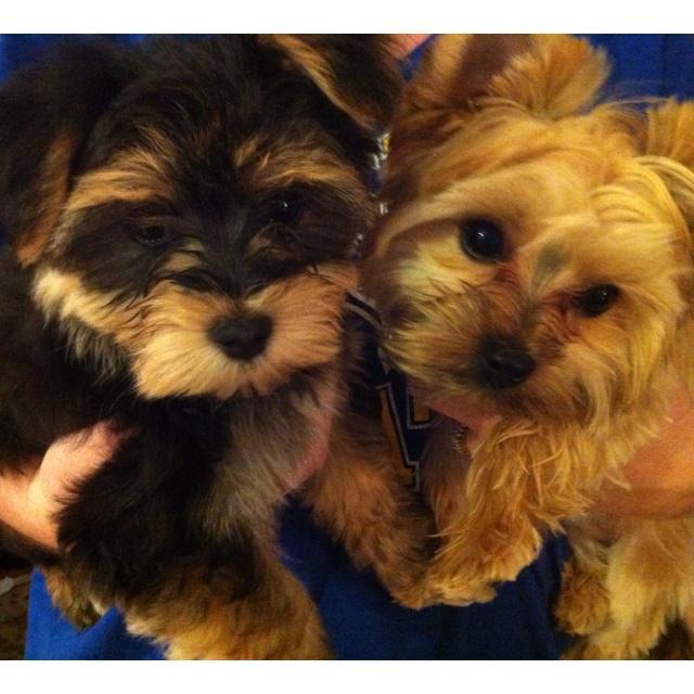Morkies Morkie Pinterest Dogs