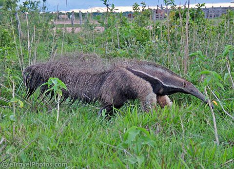 Giant Anteater, I remember seeing many of these even though they are an endangered species.