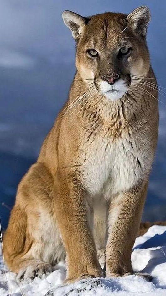 photo puma animal