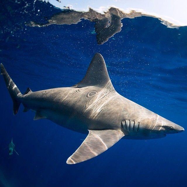 Sandbar shark off #haleiwa cool creatures #clarklittle #Padgram