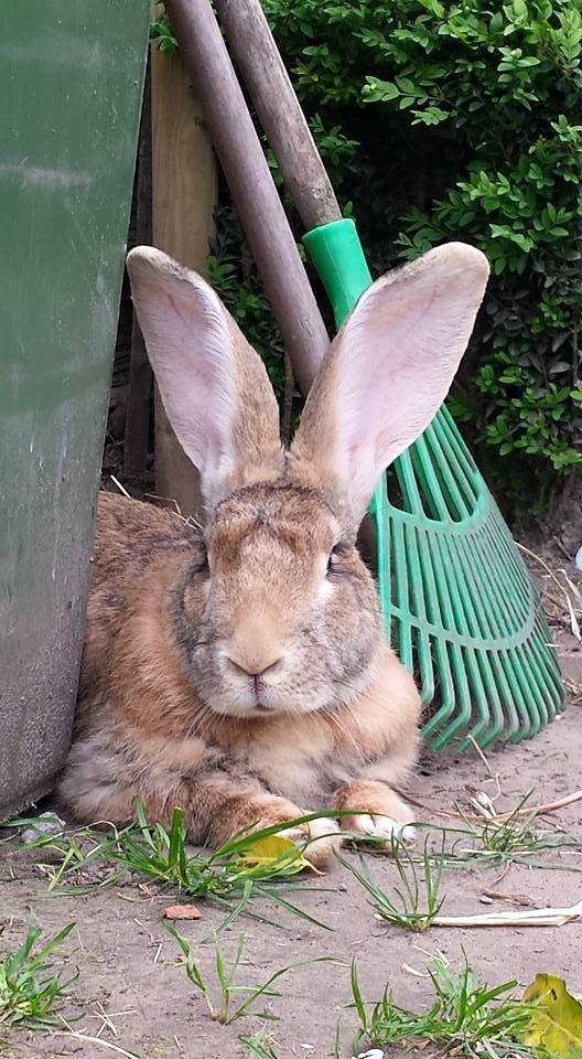 FLEMISH GIANT....gentle, intelligent, and have good personalities....well tempered, calm and not as lively as the smaller breeds....extremely good pets....good with children....called the 'Gentle giant' ....weighs 14 to 20 pounds
