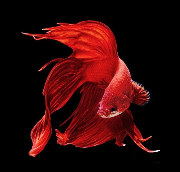 30 best images about animals on pinterest japanese koi for Japanese fighter fish