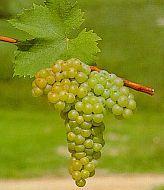 Major types of white wine