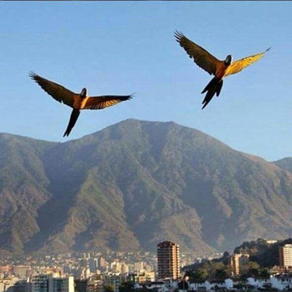 Guacamayas volando sobre Caracas. Al fondo el majestuoso Ávila.