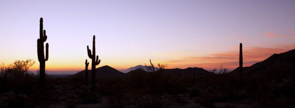 Saguaro Cactus at Sunrise Panoramic