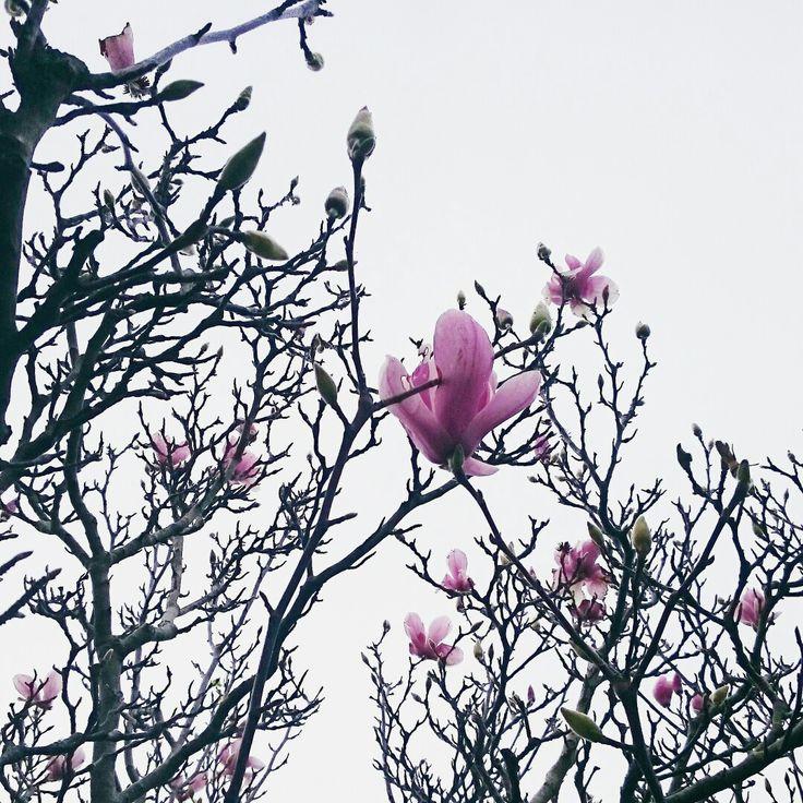 Magnolia 💗