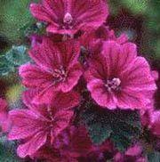 Favoriter – Sida 5 – Fröer från Rara Växter