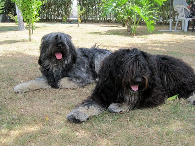 Cão da Serra de Aires