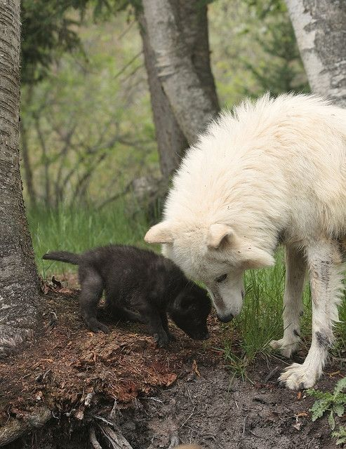 Wolf & Pup #wolf #wolves #animals
