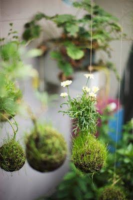 O Kokedama  nada mais é do que um tipo de Bonsai, chamado tbm de String Garden  , resumindo Kokedama quer dizer uma  bola (dama)de musgo ...