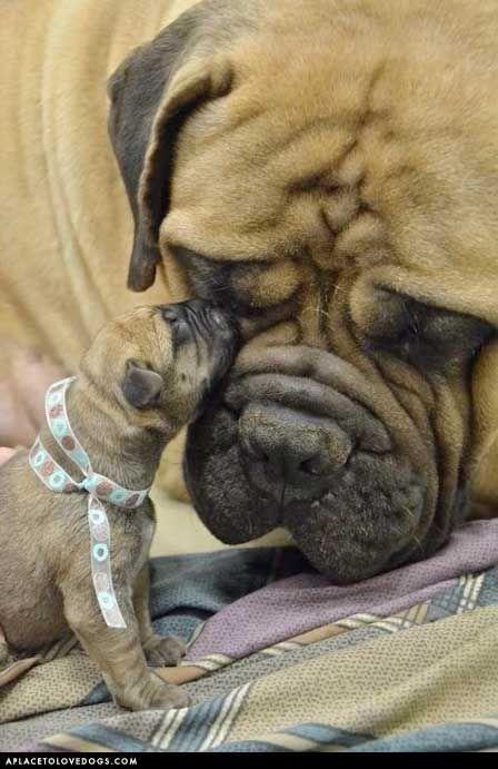 Awww...love you Mom.: Bullmastiff, Mastiff Puppies, English Mastiff, Pet, Baby Animal, Bull Mastiff, Baby Dogs, New Baby, Baby Puppies