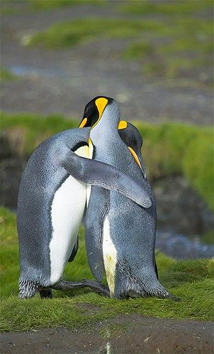 A pair of courting King Penguins (© Nature Picture Library/Rex Features)  so sweet!