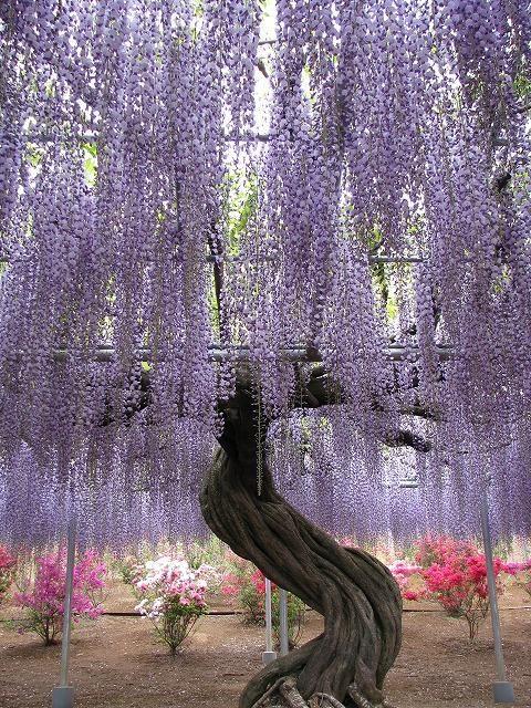 purple cloud of wisteria growing on a framework.  (Kawachi Fuji Garden, Japan??)
