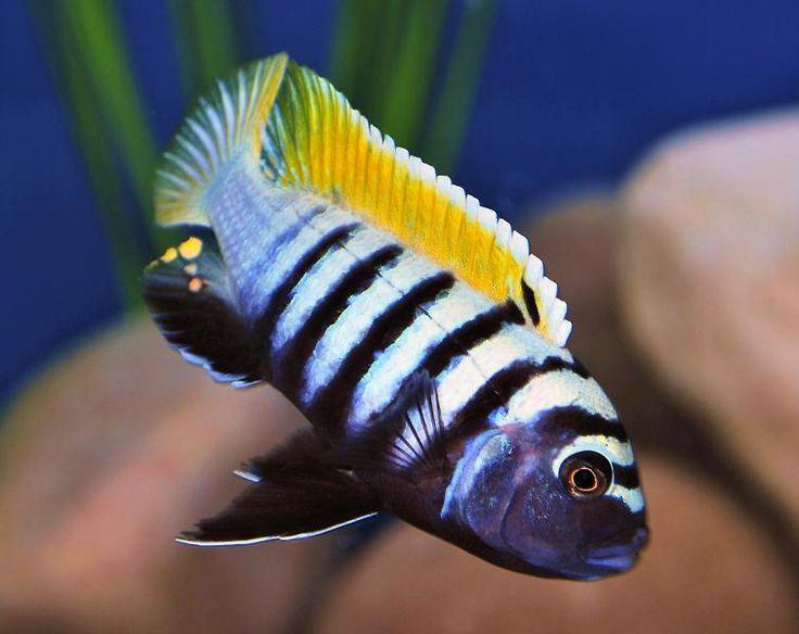 Best 25 african cichlids ideas on pinterest cichlids for Aggressive fish for sale