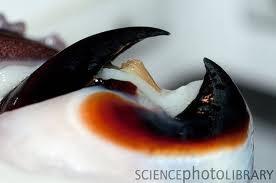 Humboldt squid's beak.