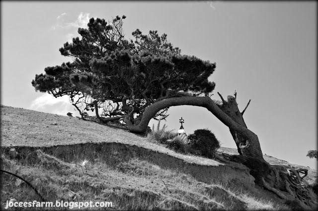 Jocees Farm: Wind Blown Tree