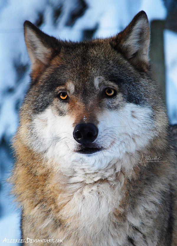 King of the Snow land (The Gray wolf called Dartaňan) by Allerlei on DeviantArt