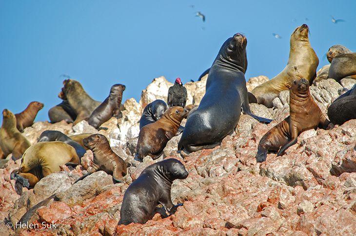 sea lions at ballestas islands peru