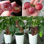 SEEDS - Bonsai Red Globe Grapes Easy Rapid Growth Indoor Outdoor in Containers! Bonsai #indooroutdoor #redgrapes #redseeds