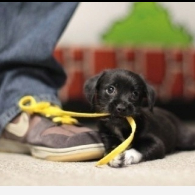 puppy with the shoelace. how precious!