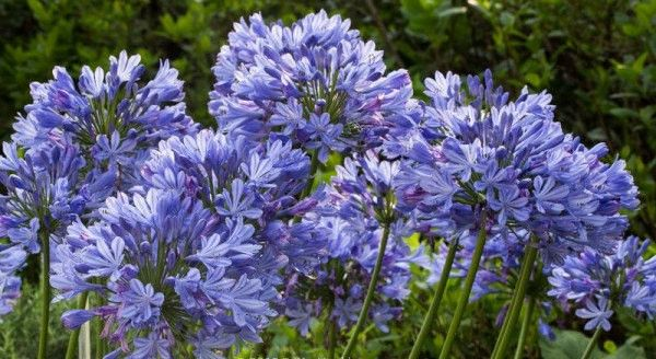 20 African Lily of the Nile Blue Flower Seeds | Agapanthus Africanus | Beautiful Home Garden Easy Care Drought Tolerant Houseplant Outdoor