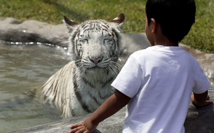 A little boy gets an up-close (behind glass, we hasten to add) look at Civa Sumac, a white Bengal tiger, as she bathes in her new enclosure at the Huachipa zoo in Lima, Peru