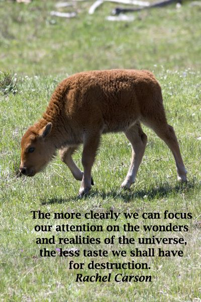 """""""The more clearly we can focus our attention on the wonders and realities of the universe about us, the less taste we shall have for destruction.""""  Rachel Carson  -- On image of BABY BISON IN YELLOWSTONE NATIONAL PARK.  FAMILY TRAVEL FUN with travel tips at http://www.examiner.com/article/wildlife-viewing-of-bison-calves-holds-family-fun"""
