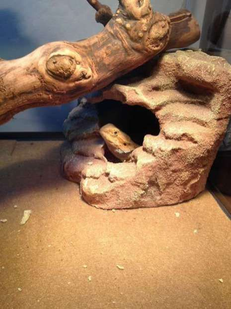 how to build a bearded dragon enclosure