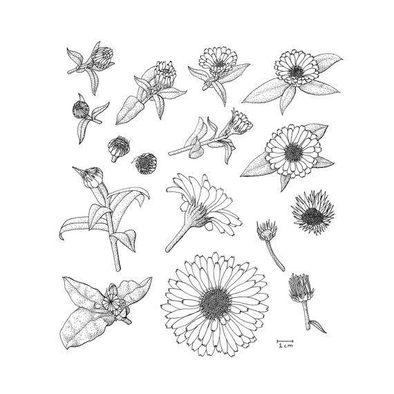 Calendula Anatomy, Black and White Stippled Scientific ... Calendula Flower Drawing