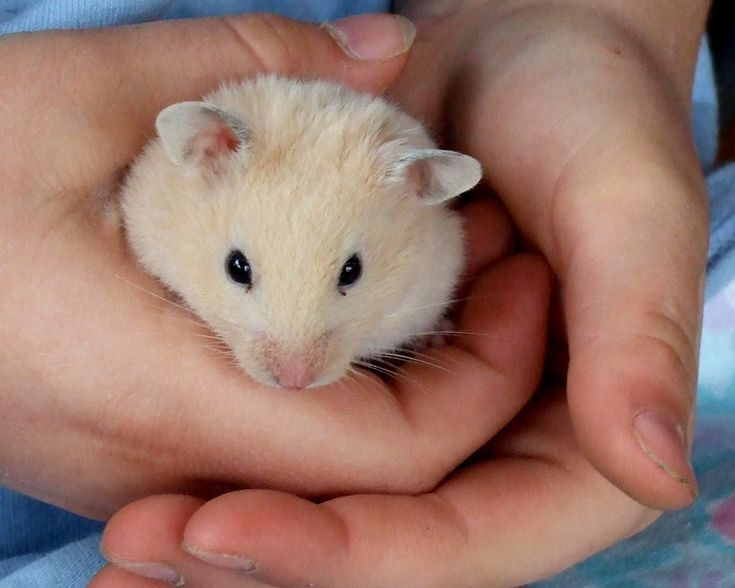 Thinking of getting a hamster and wondering about names? We have 4 lists with over 250 cute hamster names for boy and girl hamsters.