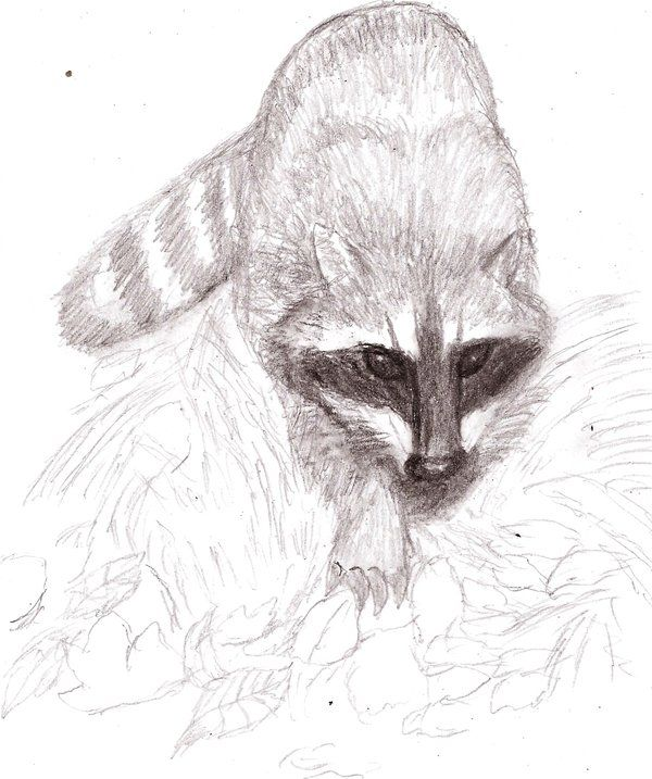 275 best images about RACCOONS