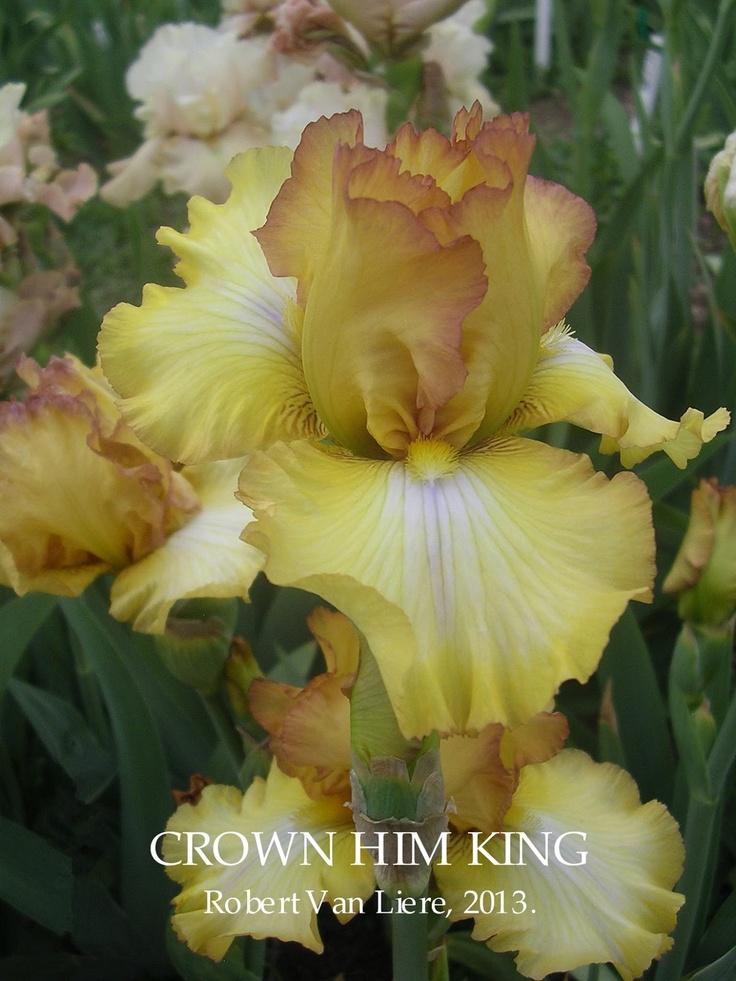Tall Bearded Iris CROWN HIM KING ~ HERITAGE IRISES