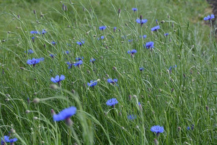 Búzavirág #gyógynövény