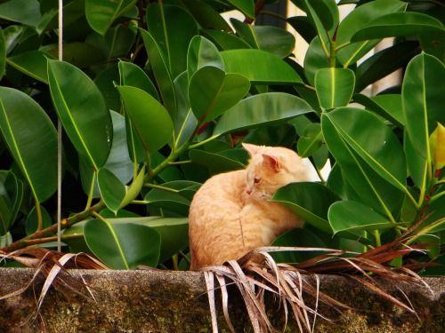 red cat in Amalfi