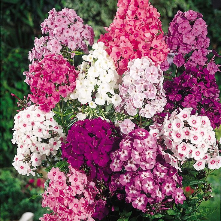 Phlox - Fragrant Collection  Flowering Period: July, August, September  Position: sun or semi shade