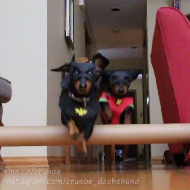 Crusoe the celebrity dachshund — #Halloween is coming up! Do you have a costume...