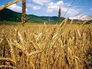 Campos de trigo en Castilla-La Mancha.  La cosecha ya casi esta terminando en los campos que rodean El Casar.