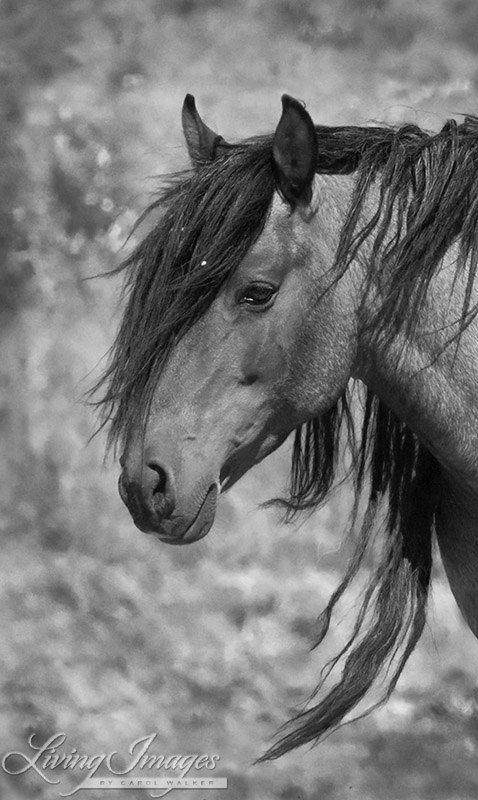 wild horse stallion mustang american
