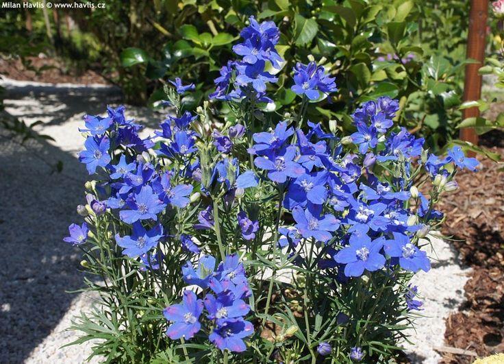 Delphinium grandiflorum 'DELFIX® BLUE' - Havlis.cz
