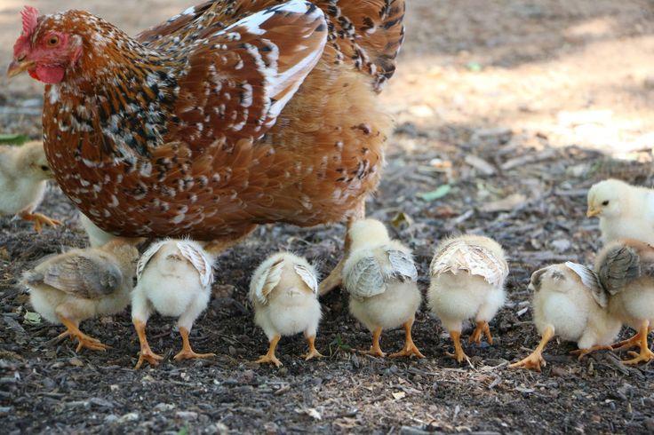 Chicks at Babylonstoren, Franschhoek, South Africa