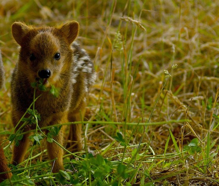 El pudú, un pequeño ciervo que habita los bosques del sur de Chile www.thisischile.cl
