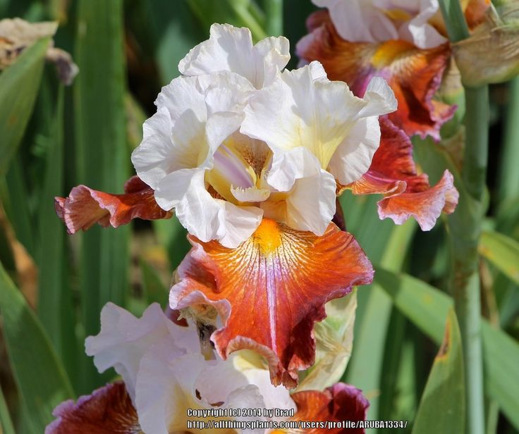 Photo of Tall Bearded Iris (Iris 'Lady Leigh') uploaded by ARUBA1334
