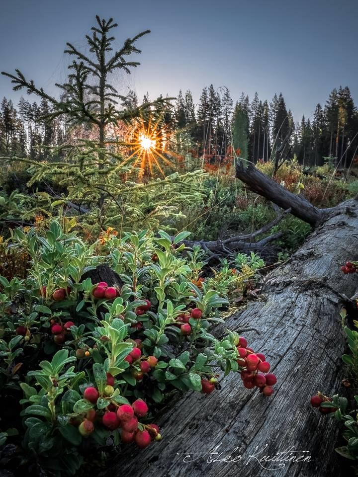 Lingonberries from the Finnish forests ... One of many reasons to travel to the top of the world