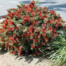 Image result for dwarf bottlebrush little john