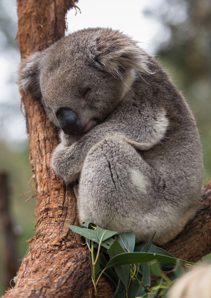 Miroir De Chambre Conforama :  à propos de Koalas sur Pinterest  Bébé koala, Koalas et Ours
