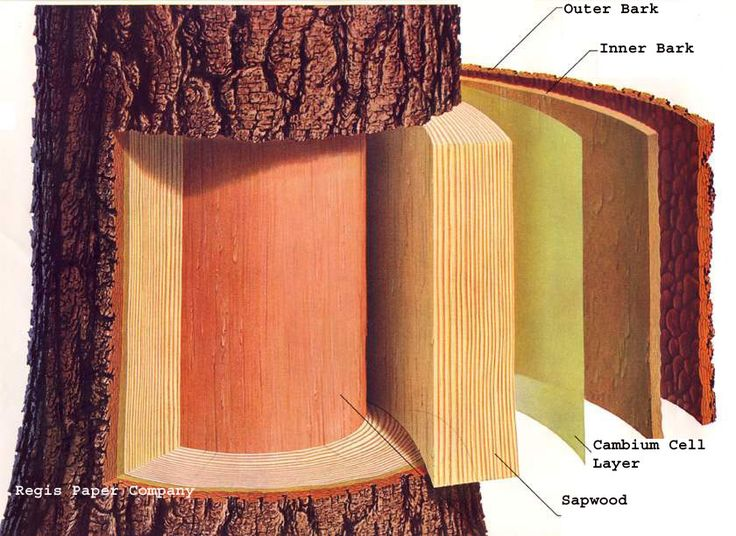 Cornell - layers of bark to understand when grafting fruit trees.